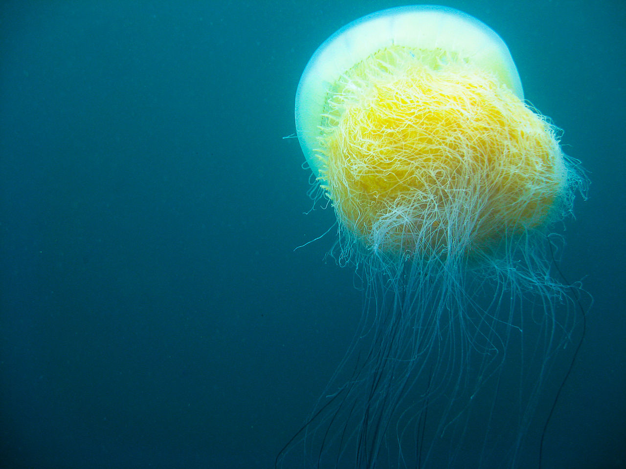 The Global Jellyfish Crisis in Perspective | JSTOR Daily