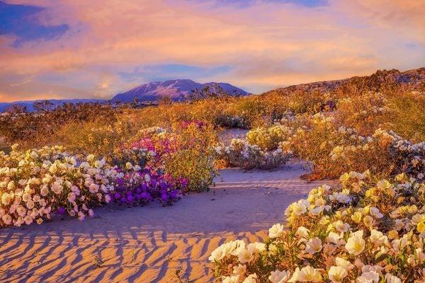 Anza Borrego Desert State Park Wildflowers,CA