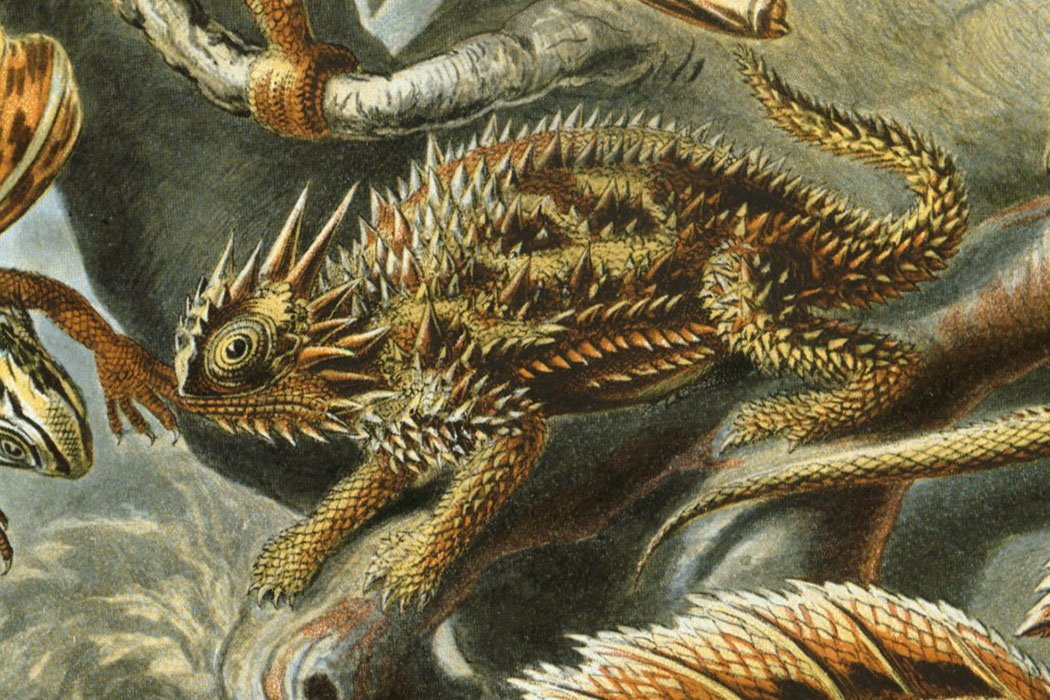 Ernst Haeckel's Kunstformen der Natur depicts a horned Texas lizard