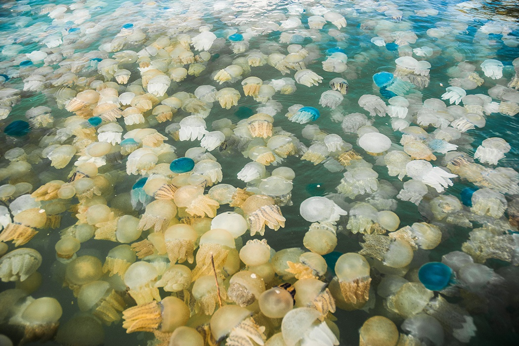 Jellyfish bloom