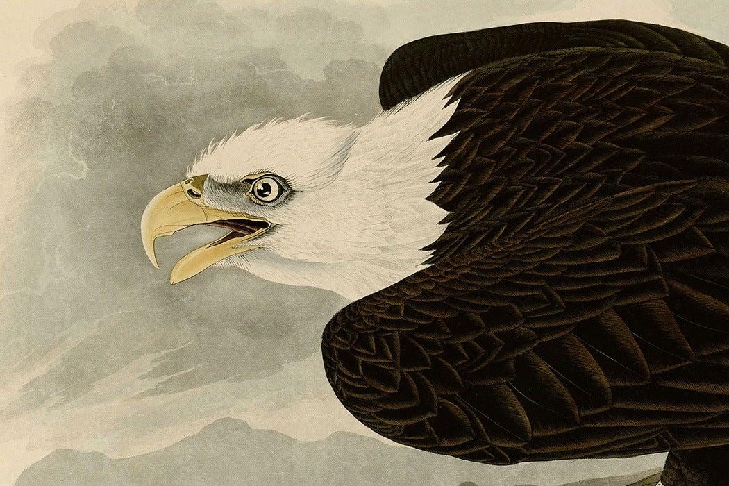 Audubon Bald Eagle