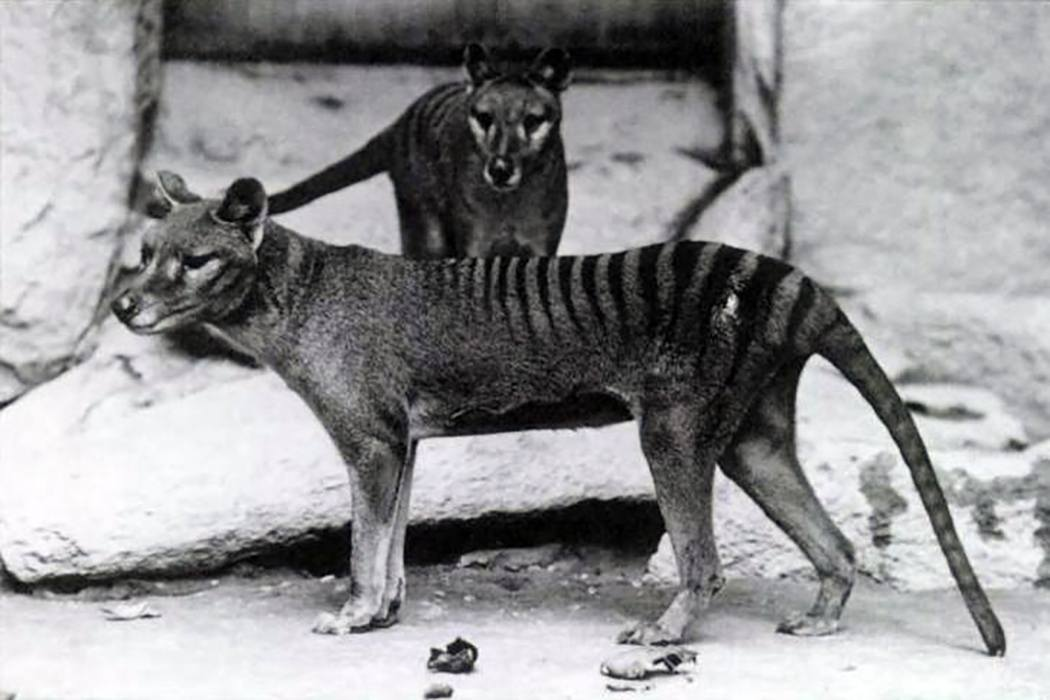 Image result for the tasmanian tiger