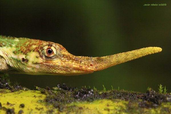 anolis proboscis lizard
