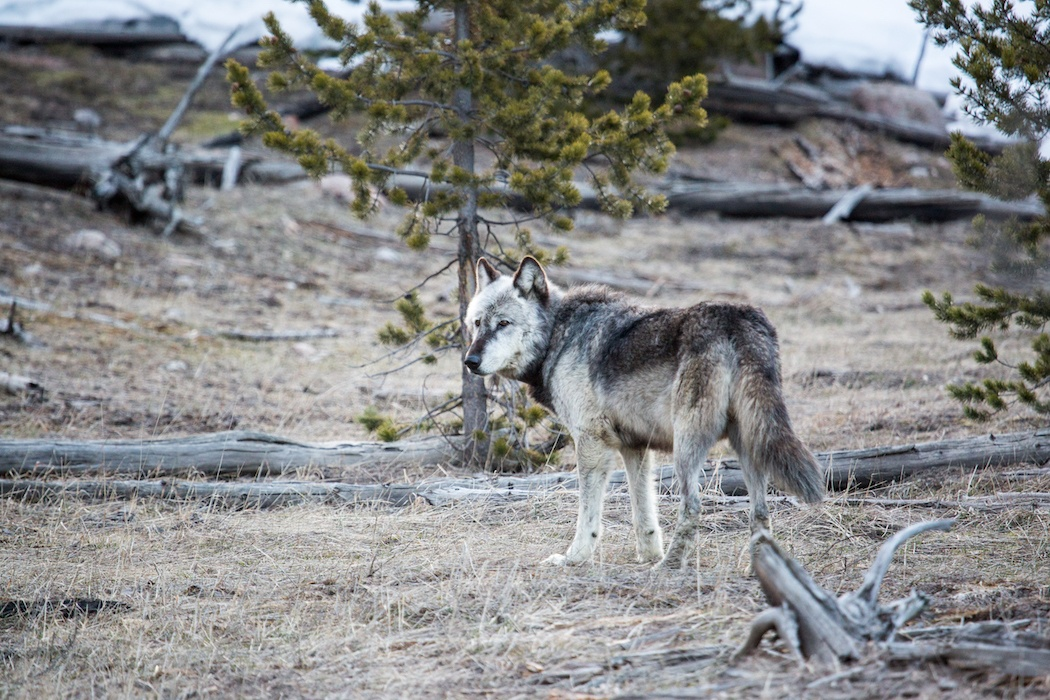 reintroduction of the wolf In 1966, the idea of wolf reintroduction was first presented to congress by  biologists these scientists believed that because the ecosystem had.