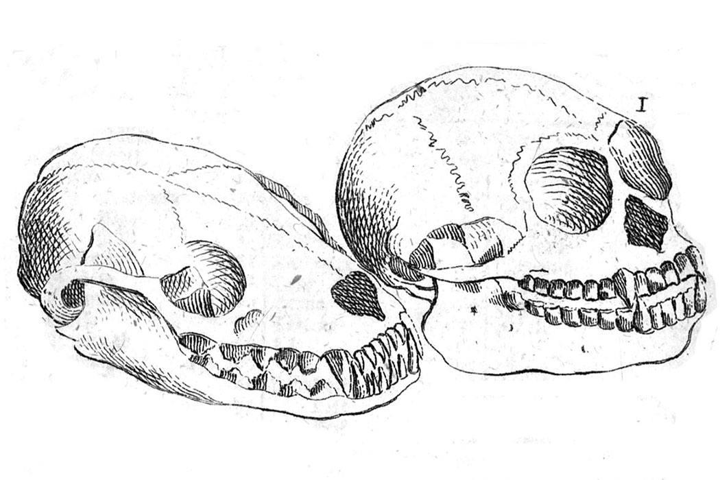 Linnaeus Skulls