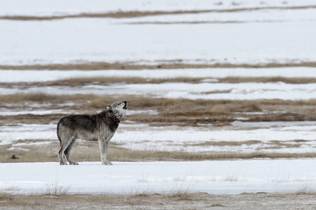 Wyomings War On Wolves Jstor Daily