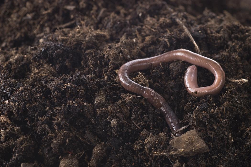 Show me the picture of earthworm