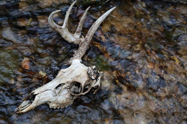 One antler deer skull in water
