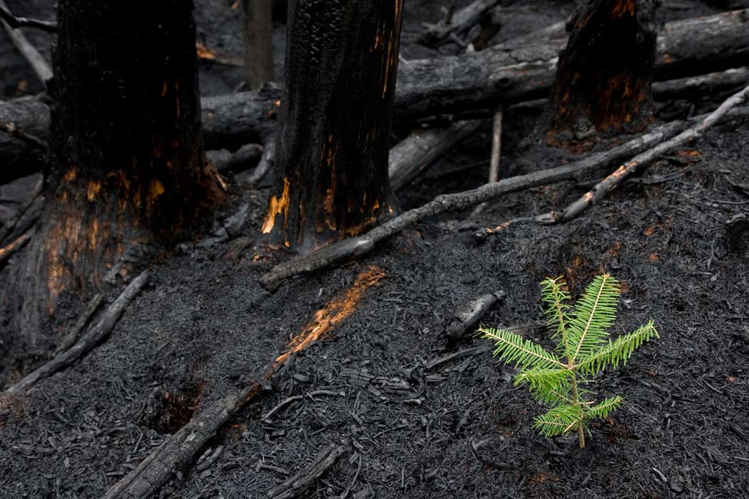 tiny fur tree growing after forest fire