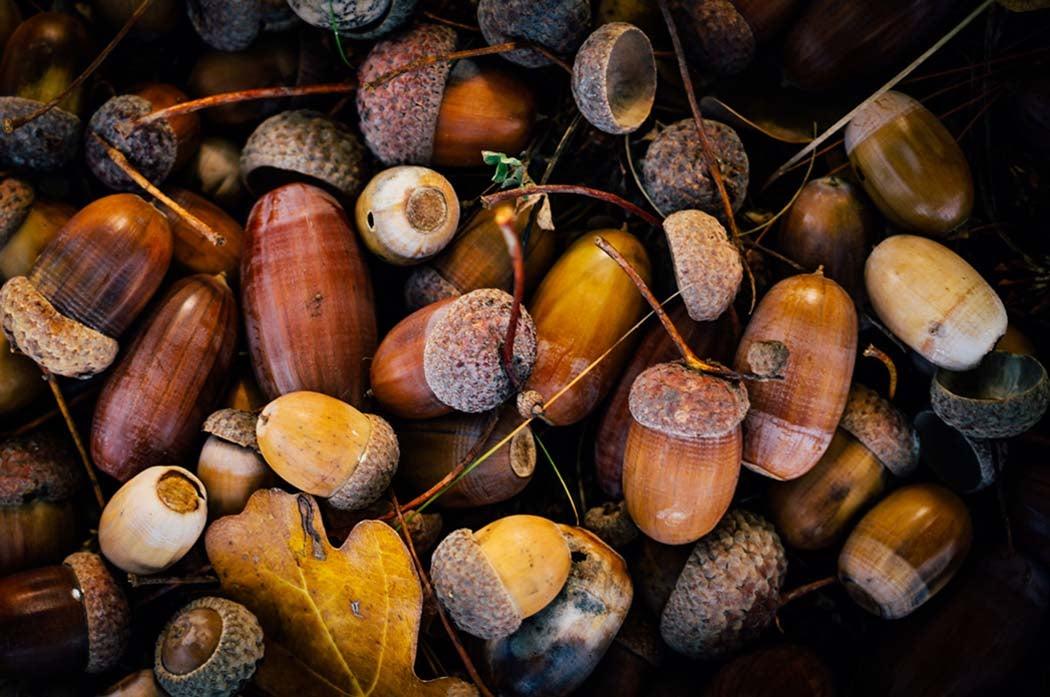 acorn bumper crop