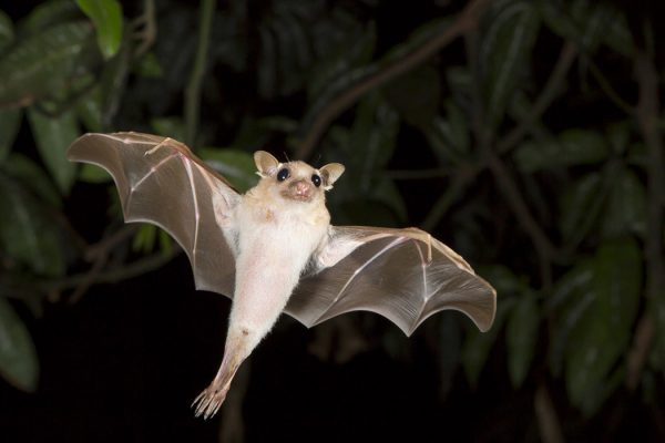 A dwarf epauletted fruit bat flying