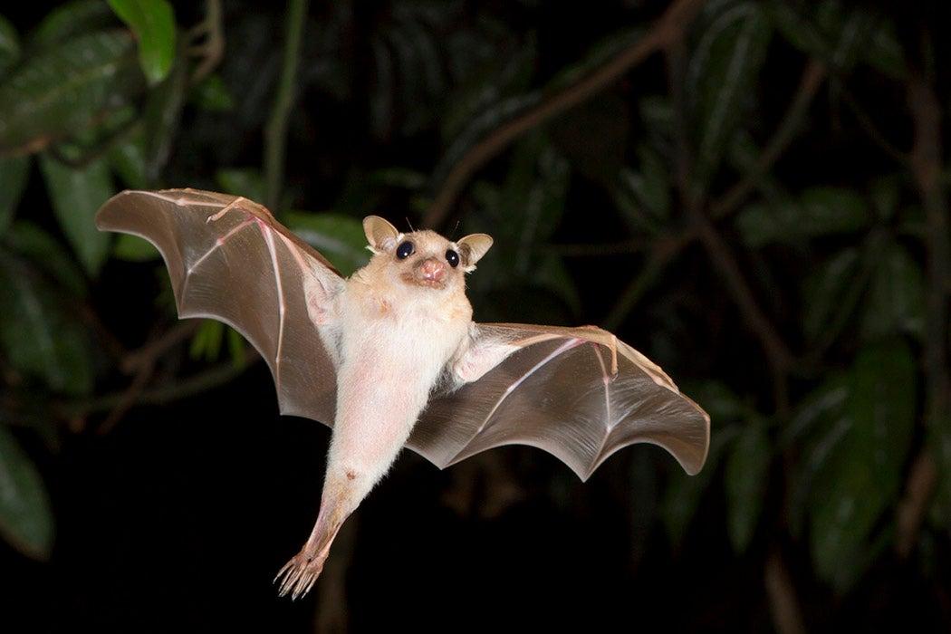 A dwarf epauletted fruit bat flying