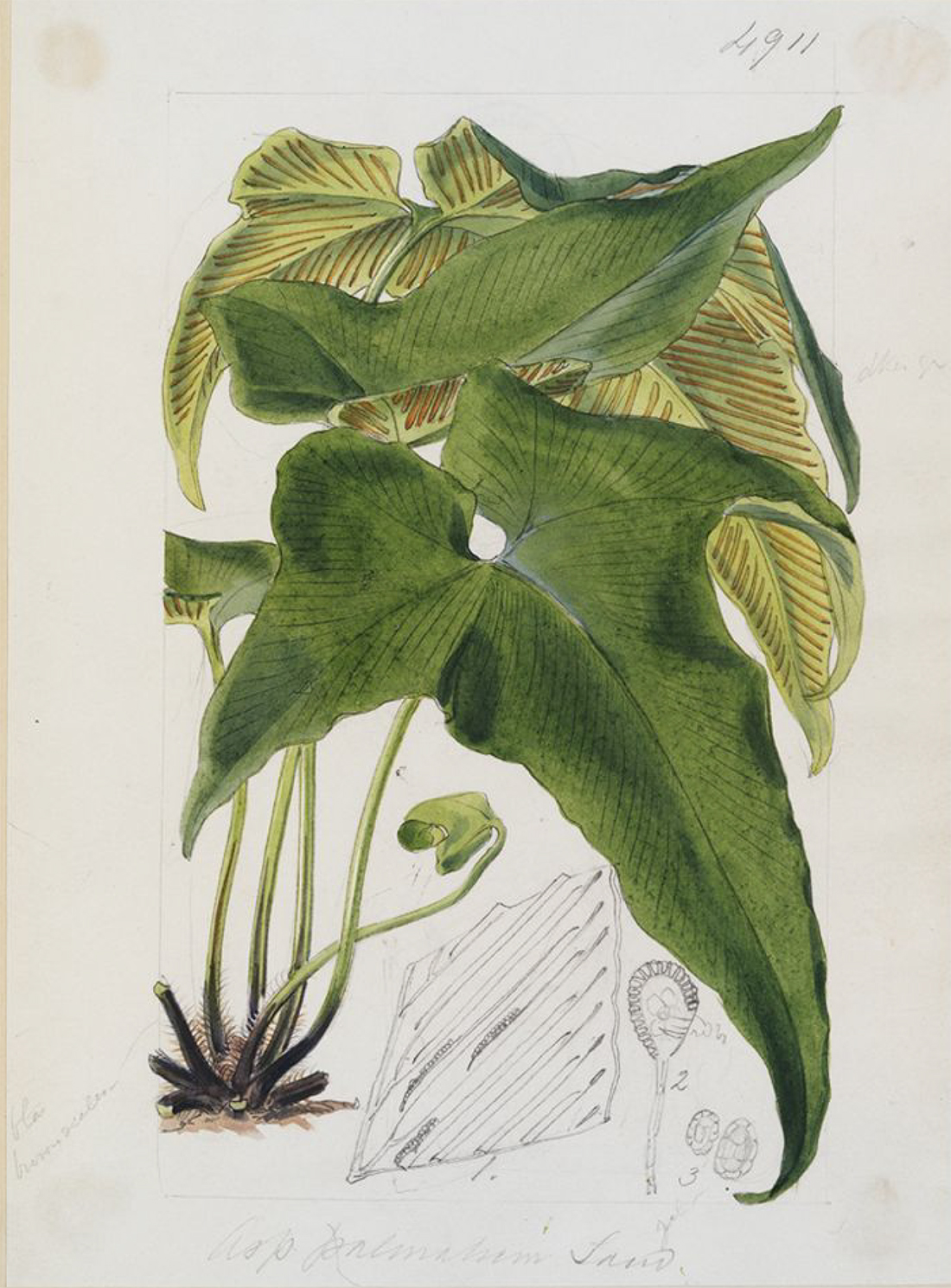 An 1856 fern illustration from Curtis's Botanical Magazine