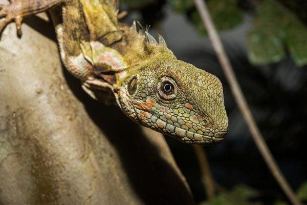 Hypsilurus papuensis Papua Forest Dragon