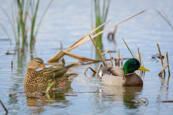 Mating Mallard Ducks