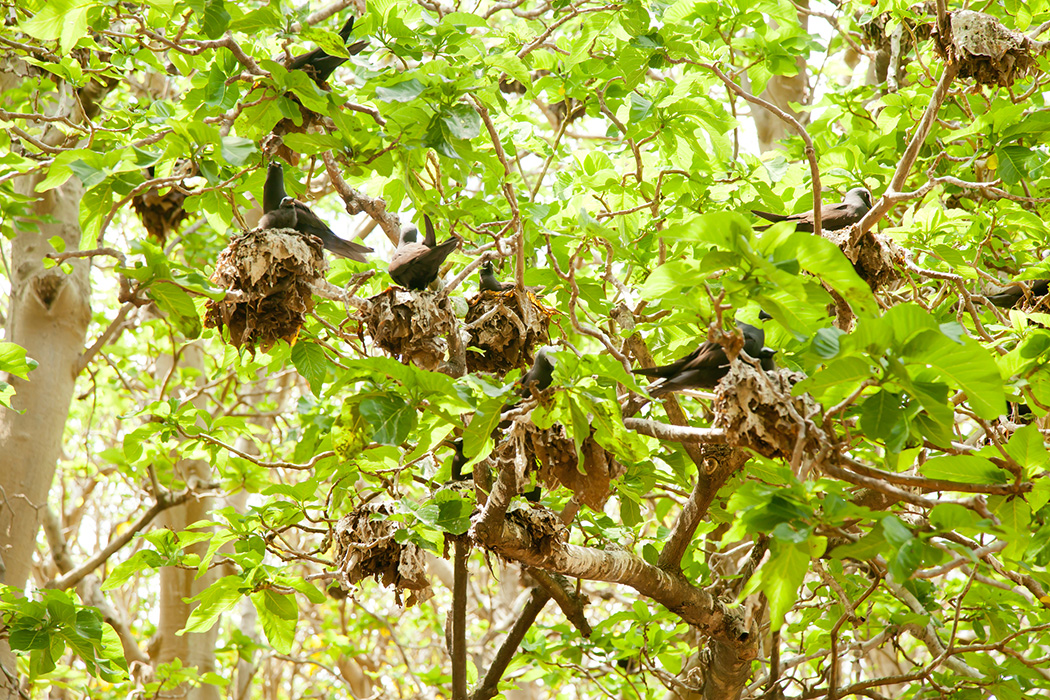 Black Noddy Terns Nesting in Pisonia Trees at Lady Musgrave Island Queensland Australia