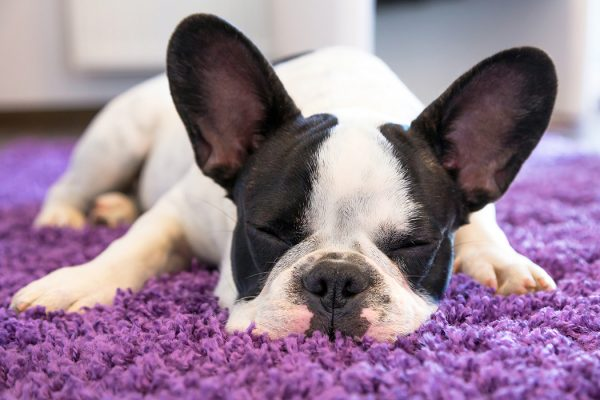 French bulldog puppy sleeping on the carpet