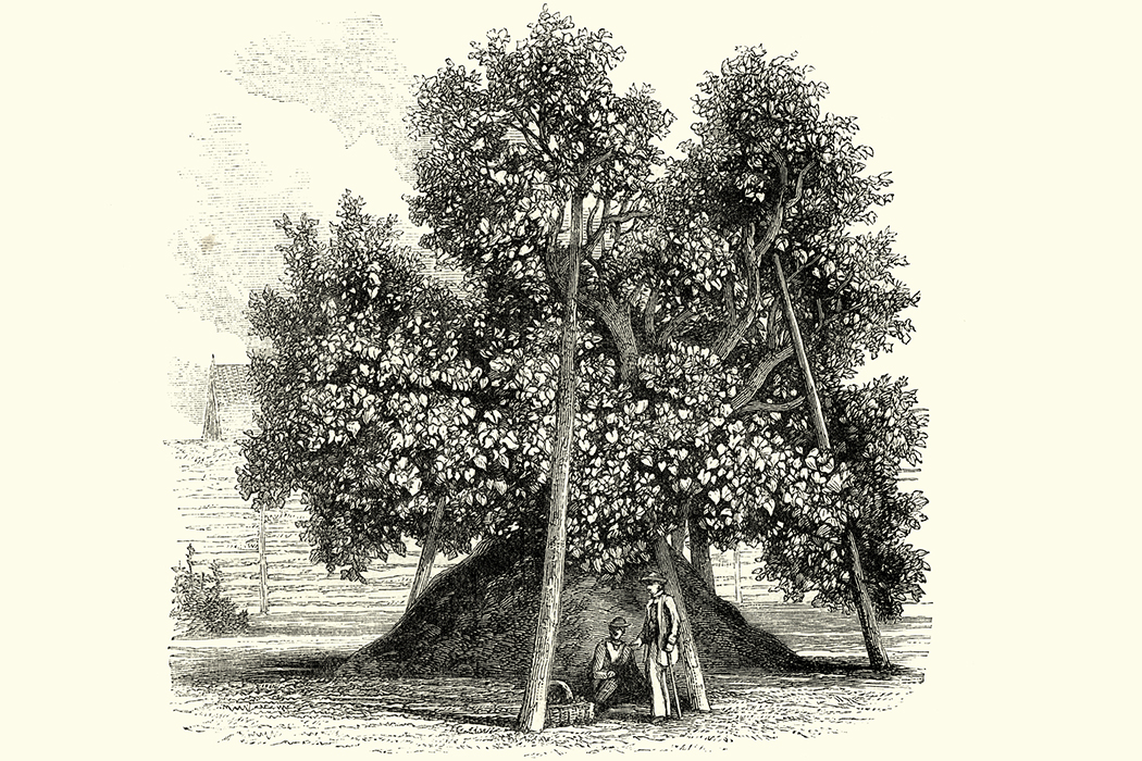 Mulberry tree Cambridge