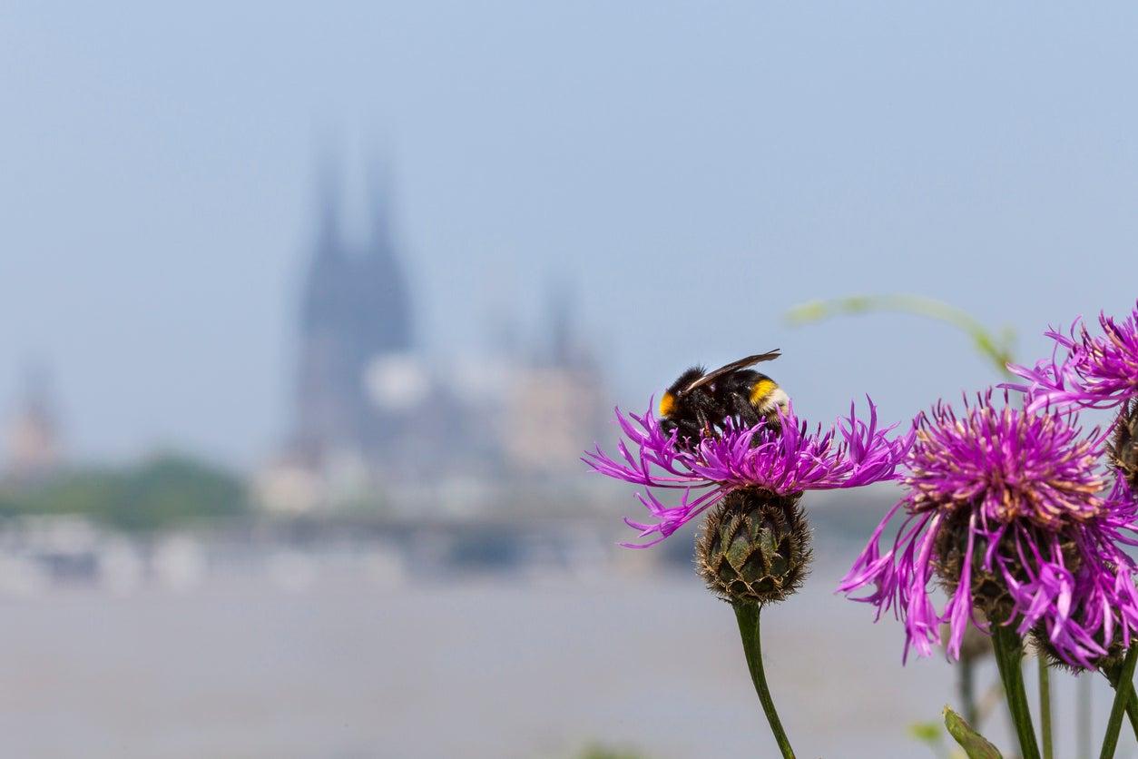 urban bees