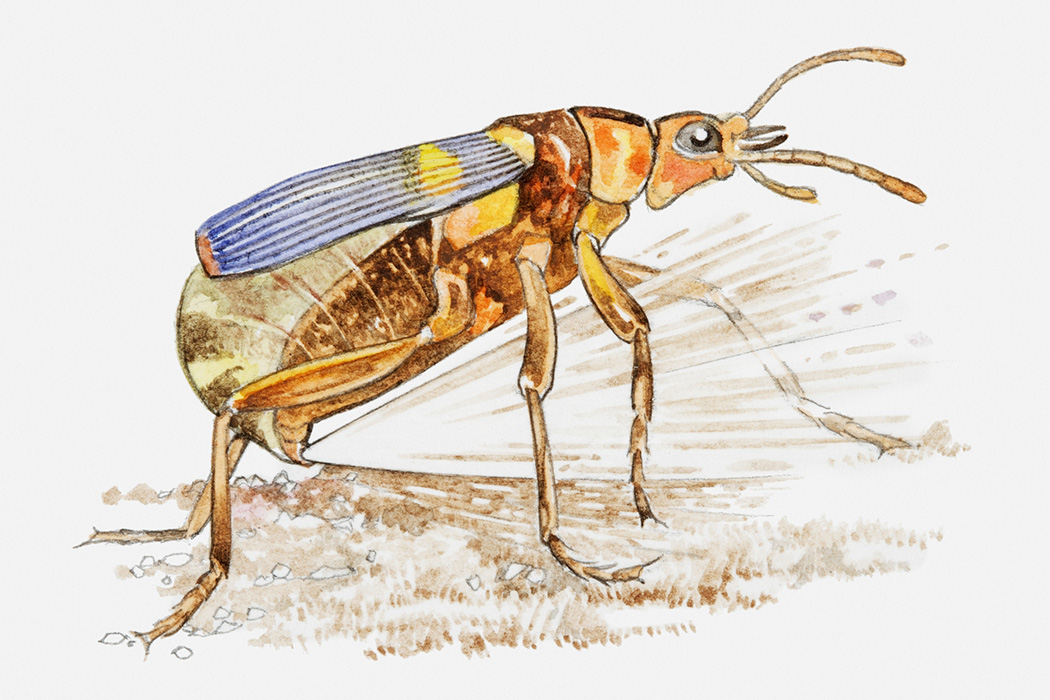 Illustration of Bombardier Beetle (Pheropsophus) excreting a mixture of hydroquinone and hydrogen peroxide at speed from opening in abdomen