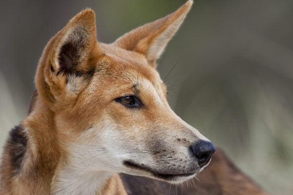 A wild dingo