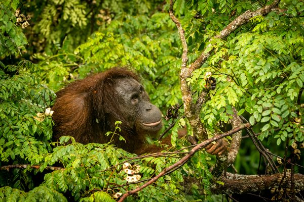Wild Orangutan Female Eating Red Berries