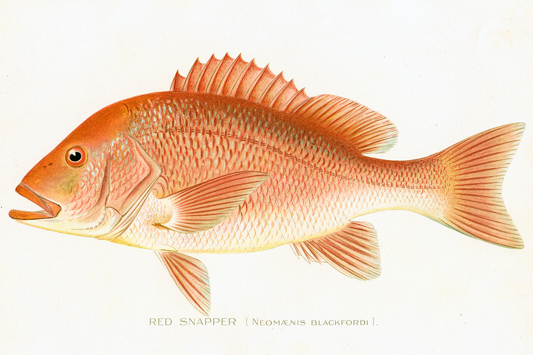 Red snapper chromolithograph 1898