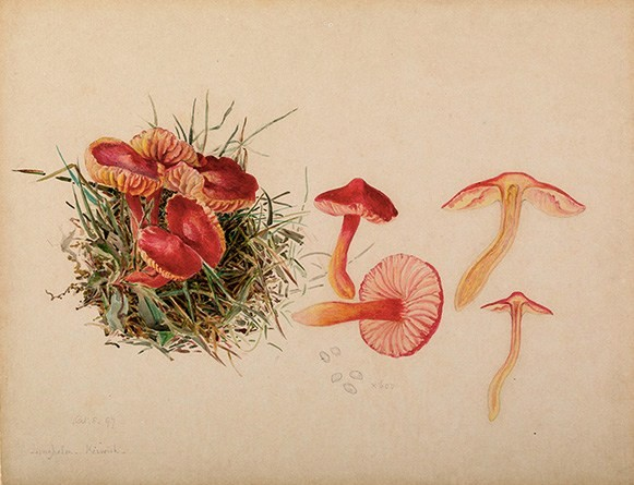 Beatrix Potter mushroom illustration