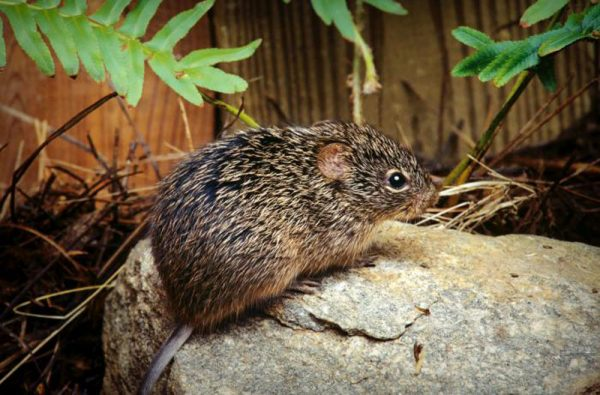 Cotton rat hantavirus