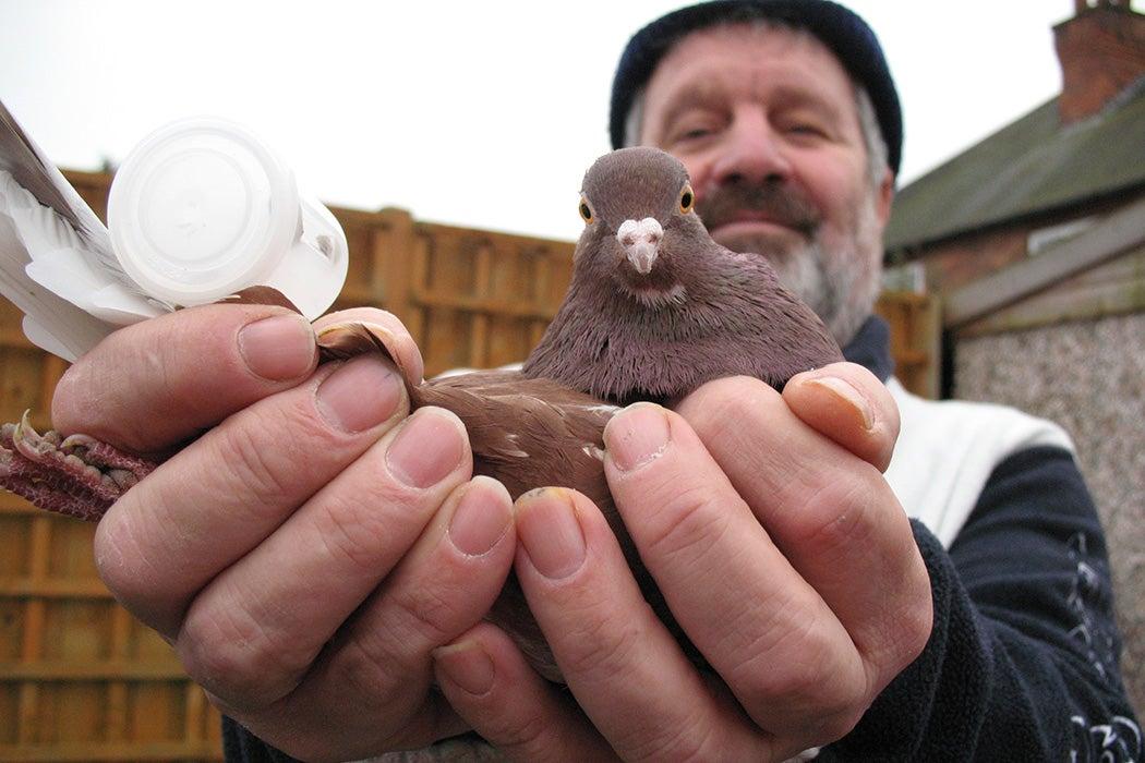 Pigeon Pete