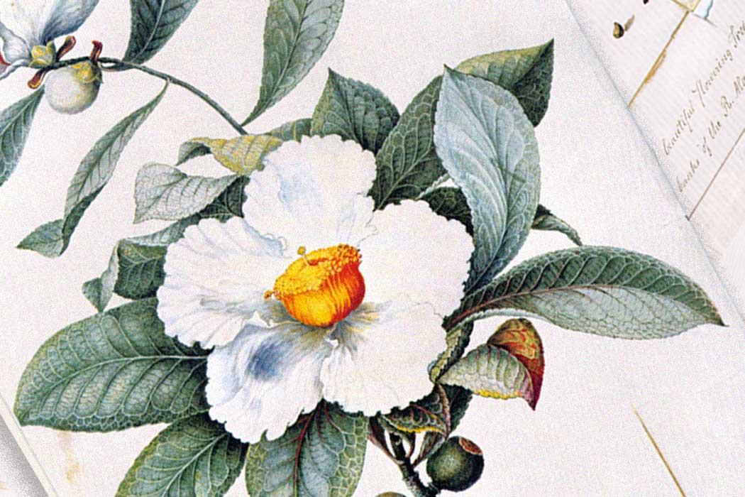 Illustration: a flower and leaf of the Franklinia alatamaha by William Bartram (1782)  Source: https://en.wikipedia.org/wiki/Franklinia#/media/File:William_Bartram01.jpg