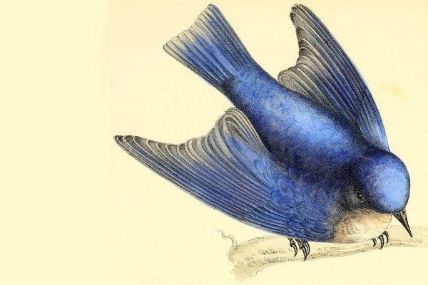 Susan Fenimore Cooper bluebird