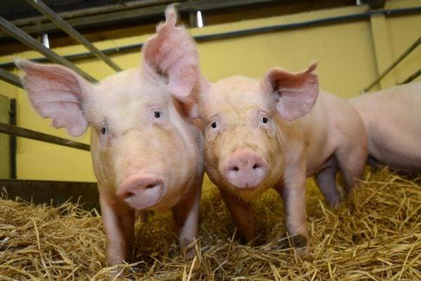 gene edited pigs