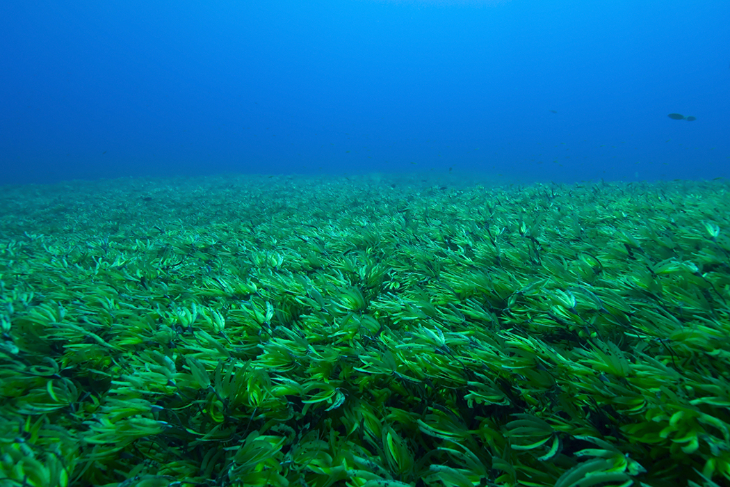 seagrass in blue ocean