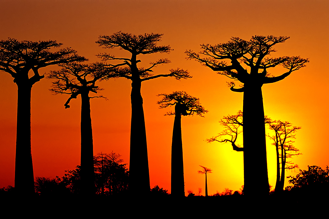 During late twilight in the Baobab trees