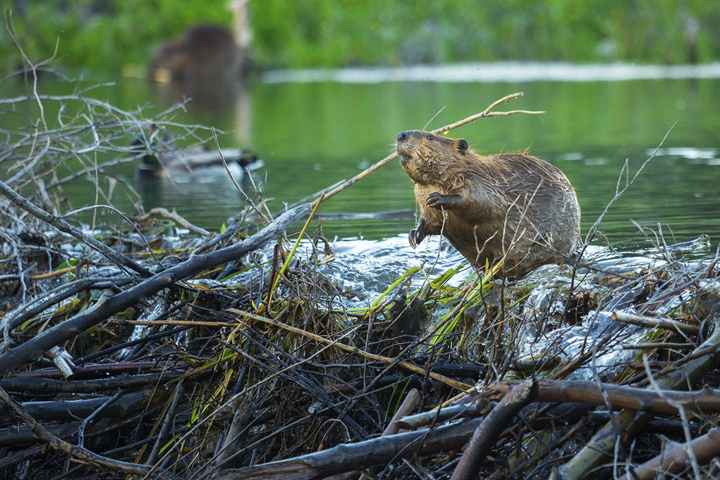 Beaver on dam, JSTOR Daily photo