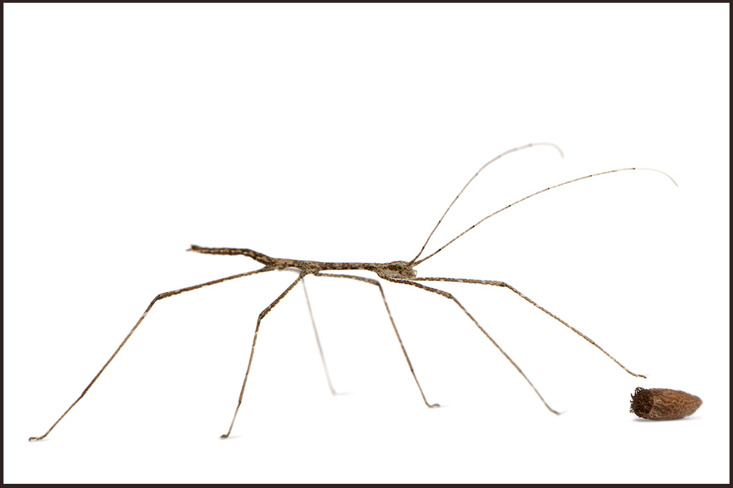 A phasmid stick insect with egg