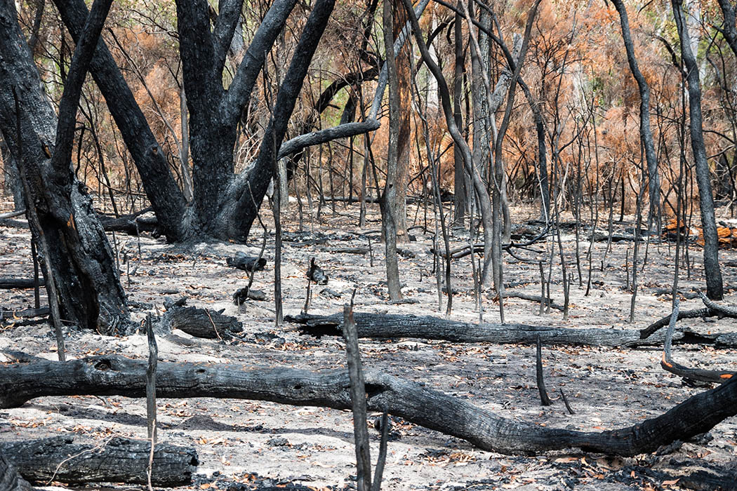 Severely burnt forest after Grampians wildfire
