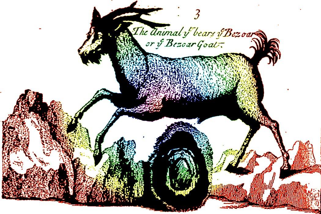 bezoar goat
