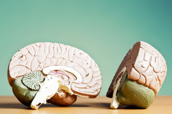 The two halves of a medical model of a human brain.