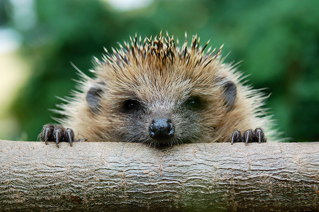 Face of young hedgehog climbing over a piece of wood