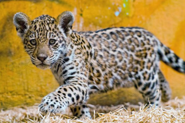 A cute female jaguar cub walking in the hay and looking at the camera
