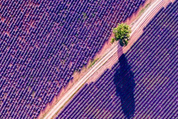birds-eye view of lavender field