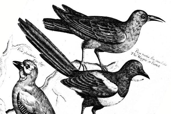 francis willughby crows