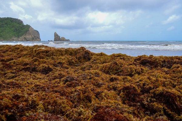 sargassum seaweed dumped on beach