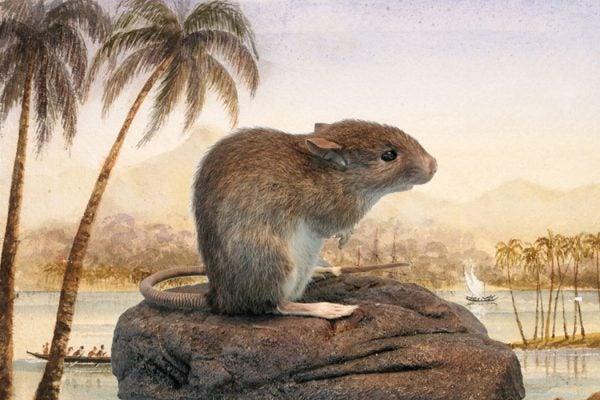 A Polynesian rat
