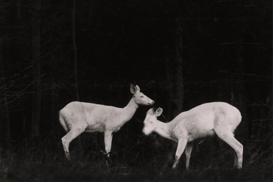 Two deer in the woods at night