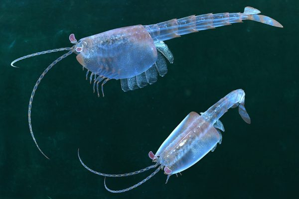 Restoration of Burgess Shale fossil arthropod Waptia fieldensis