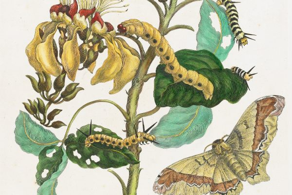 A plate from Metamorphosis Insectorum Surinamensium, by Maria Sibylla Merian