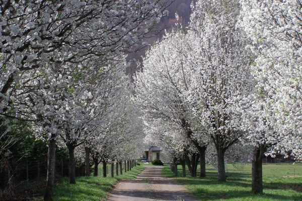Callery Pear Trees in bloom